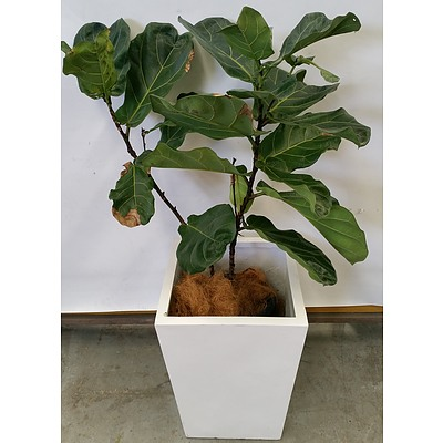 Fiddle Leaf Fig(Ficus Lyrata) Indoor Plant With Fiberglass Planter