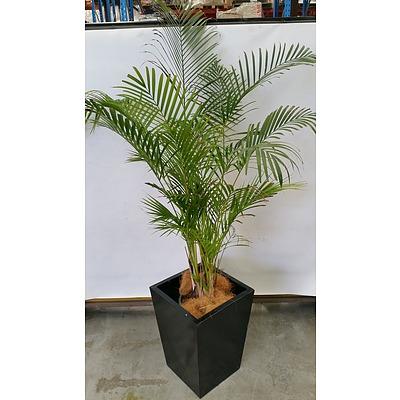 Golden Cane Palm(Dypsis Lutescens) Indoor Plant With Fiberglass Planter