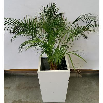 Kentia Palm(Howea Forsteriana) Indoor Plant In Fiberglass Planter