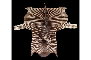 Large Genuine Burchell's Zebra Hide