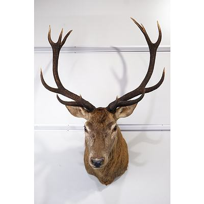 Large Taxidermy Red Deer, Shoulder Mount, 12-Point Royal, S.E. Queensland.