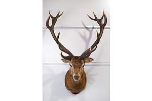 Large Taxidermy Red Deer, Shoulder Mount, Massive 14-Point Imperial, South Island, New Zealand.