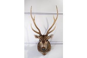 Chital Deer, Shoulder Mount, S.E. Queensland.