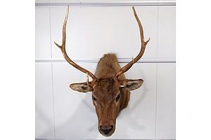 Elk, Shoulder Mount, British Columbia, Canada