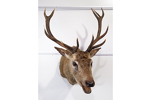 Large Taxidermy Red Deer, Shoulder Mount - Roaring, 12-Point Royal, S.E. Queensland.