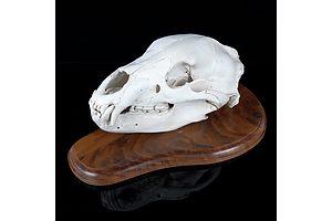 Black Bear Skull, Mounted on Timber Shield, Alaska, USA, Collected 1991
