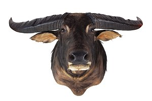 Large Taxidermy Buffalo (Unusually Large Horns), Shoulder Mount, Northern Territory.