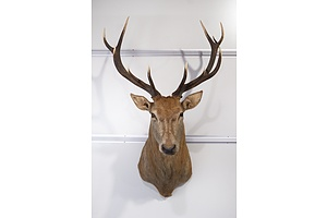 Large Taxidermy Red Deer, Shoulder Mount, 11-Point, S.E. Queensland.