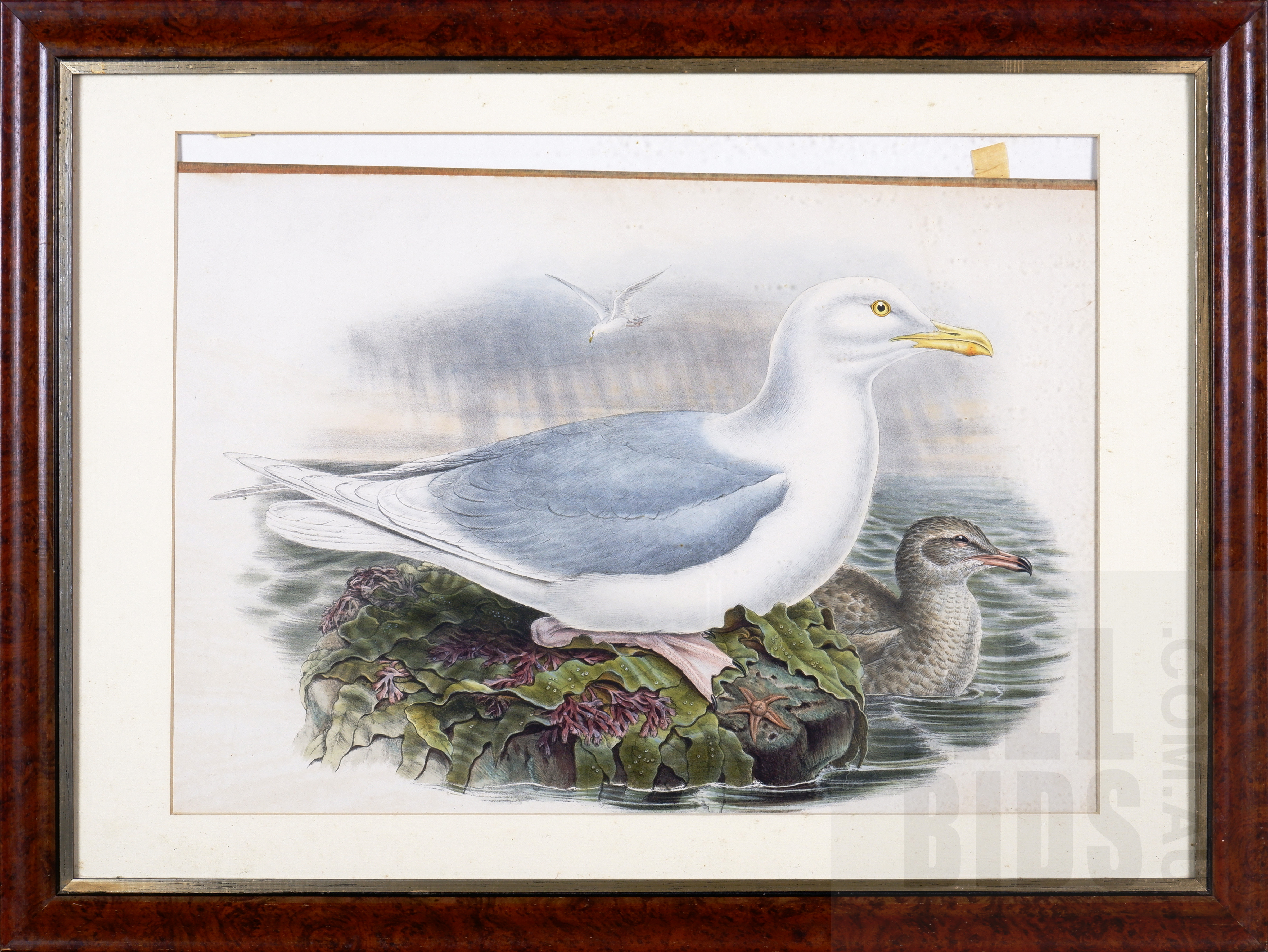 'Framed John Gould Hand-Coloured Lithograph, Larus Glaucus, 35.5 x 45 cm (image size)'