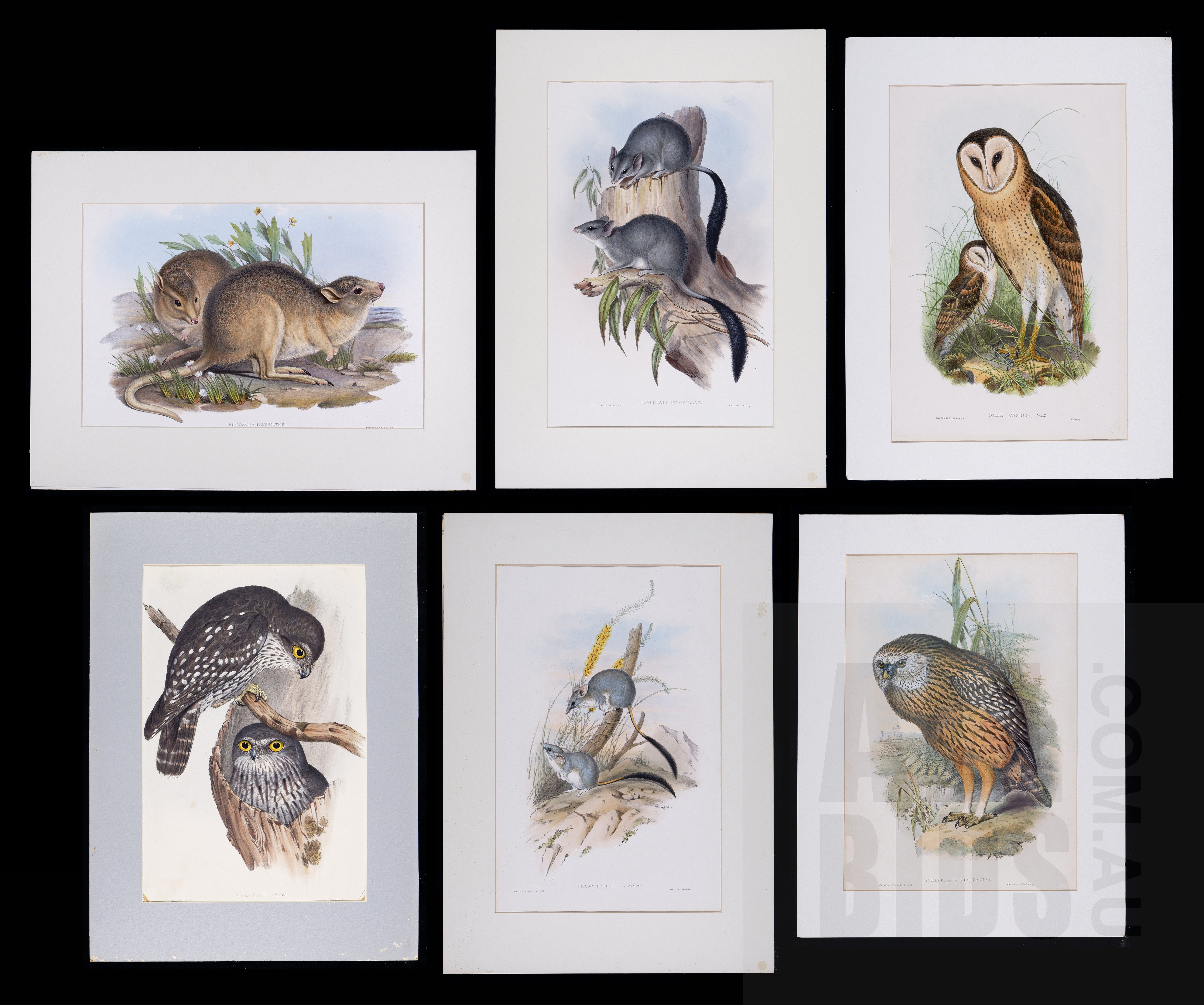 'A Group of Six Unframed John Gould Hand-Coloured Lithographs, each approx. 50 x 30 cm (image size) (6)'