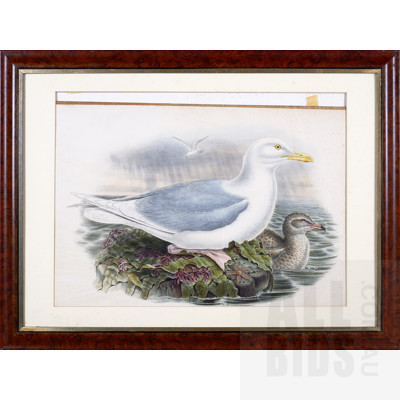 Framed John Gould Hand-Coloured Lithograph, Larus Glaucus, 35.5 x 45 cm (image size)